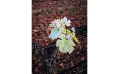 Galería de fotos de las primeras hojas de las viñas
