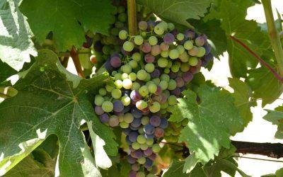 Balance vitivinícola del año 2020 de los CCRR: DO Binissalem, DO Pla i Llevant y Vi de la Terra Mallorca