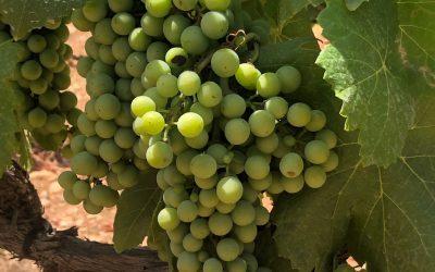Las uvas siguen creciendo. Diario de una cepa (5).