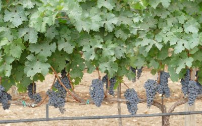 Maduración de las uvas.