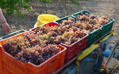 Entrada de las uvas en las bodegas.
